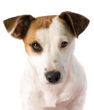Jack Russell portrait Royalty Free Stock Photography