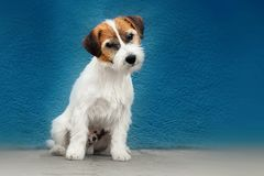 Jack russell portrait. Jack russell dogs walk in park royalty free stock images