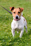 Jack Russell portrait. In park Stock Image
