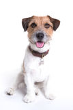 Jack russell portrait sitting in white background stock photo