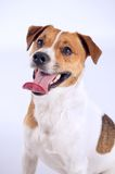 Jack russell portrait Stock Image
