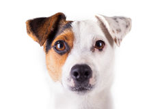 Jack russell portrait. Of a white background Stock Image
