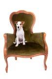 Jack Russell portreta obsiadanie na dużym krześle zdjęcie stock