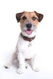 Jack Russell portreta obsiadanie w białym tle zdjęcie stock