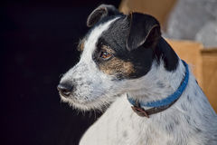 Jack Russell Profile Stock Images