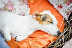 Jack Russell psa dosypianie Zdjęcie Stock