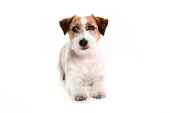 Jack Russell psi pozuje kłaść w biały studia oglądać przychodził Zdjęcie Royalty Free