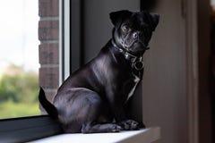 Jack Russell Pug si è seduto sulla finestra fotografia stock