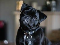 Jack Russell Pug Tilting Head. Pug Jack Russell Cross cute puppy tilting head at camera stock photos