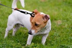 Jack Russell pulling on lead Royalty Free Stock Image
