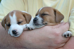 Jack Russell Puppies. Two tiny Jack Russell puppies sleeping in dad's arms stock photo