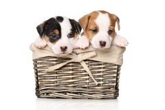 Jack Russell puppies in basket. Jack Russell puppies sits in wicker basket on a white background royalty free stock photos