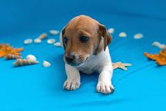 Jack Russell puppies on blue background. The Jack Russell puppies on blue background royalty free stock images