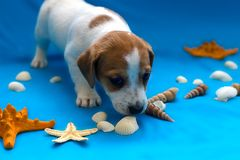 Jack Russell puppies on blue background. The Jack Russell puppies on blue background stock images