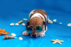 Jack Russell puppies on blue background. The Jack Russell puppies on blue background royalty free stock photography