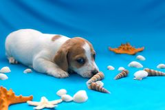 Jack Russell puppies on blue background. The Jack Russell puppies on blue background stock photography