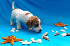 Jack Russell puppies on blue background. The Jack Russell puppies on blue background stock photo