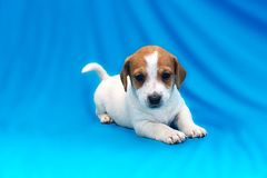 Jack Russell puppies on blue background. The Jack Russell puppies on blue background royalty free stock photo
