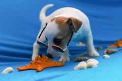 Jack Russell puppies on blue background stock image