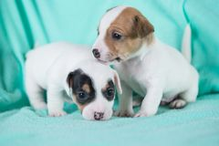 Jack Russell puppies. Four weeks old stock images