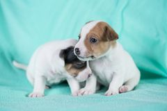 Jack Russell puppies. Four weeks old royalty free stock images