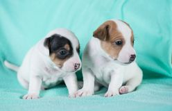 Jack Russell puppies. Four weeks old royalty free stock photos