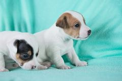Jack Russell puppies. Four weeks old stock photos