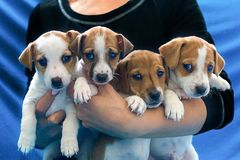 Jack Russell puppies on hand stock photography
