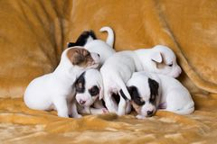 Jack Russell puppies. Four weeks old royalty free stock photo