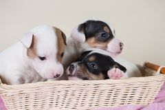 Jack Russell puppies. Four weeks old royalty free stock image
