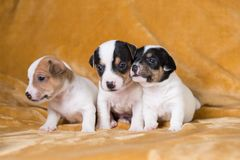 Jack Russell puppies. Four weeks old stock image