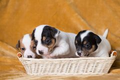 Jack Russell puppies. Four weeks old stock photography