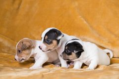 Jack Russell puppies. Four weeks old stock photo