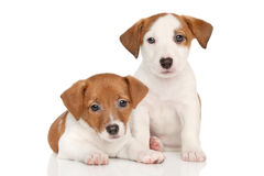 Jack Russell puppies. Jack Russell little puppies on white background royalty free stock image