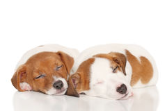 Jack Russell puppies sleep. Puppies Jack Russell Terrier sweetly sleeping on white background stock photo