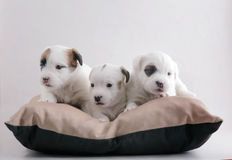 Jack Russell puppies. Three small puppies of breed Jack Russell terrier together on a pillow stock photos