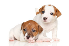 Jack Russell puppies. Two adorable puppy Jack Russell on a white background stock images