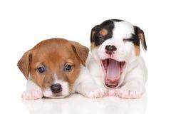 Jack Russell puppies. Two Jack Russell puppies lying on white background royalty free stock image