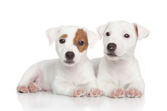 Jack Russell puppies on white. Cute Jack Russell puppies posing on white background royalty free stock photos