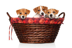 Jack Russell puppies in wicker basket. Happy Jack Russell puppies in wicker basket on a white background stock photos