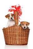Jack Russell puppies in wicker basket. Jack Russell Terrier puppies in large wicker basket on a white background royalty free stock image