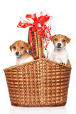Jack Russell puppies in wicker basket. Jack Russell Terrier puppies in large wicker basket on white background royalty free stock photo