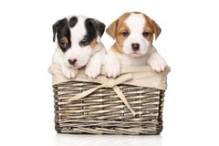 Jack Russell puppies in wicker basket. Jack Russell terrier puppies in wicker basket on white background stock photography
