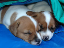 Jack Russell Puppies2 Stockbild