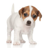 Jack Russell puppy (1 month) Royalty Free Stock Photos