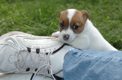 Jack Russell Puppy. Peaking over dads leg stock image