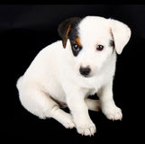 Jack Russell Puppy Royalty Free Stock Photos