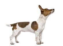 Jack Russell puppy against white background Royalty Free Stock Image