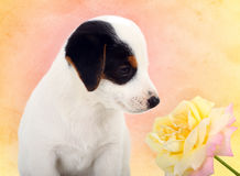 Jack Russell puppy with a big rose Stock Images