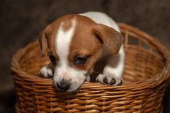 Jack Russell puppy climb out of a wicker basket. stock photos